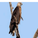 Pallas's Fish-eagle