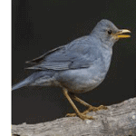 Tickell's Thrush