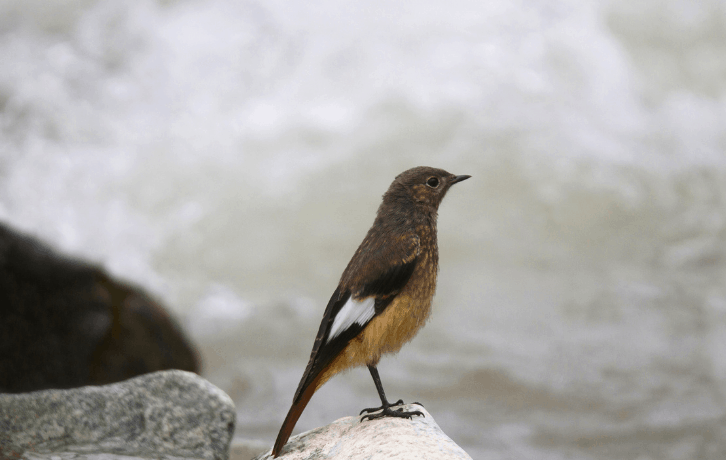 State Birds of Jammu and Kashmir