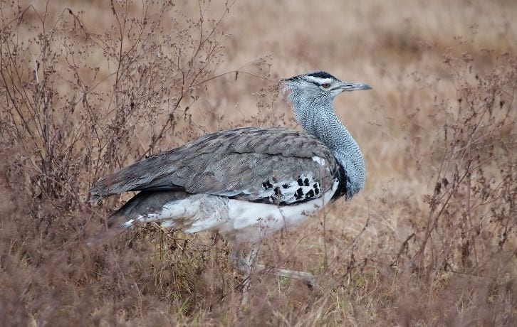 State Birds of Rajasthan